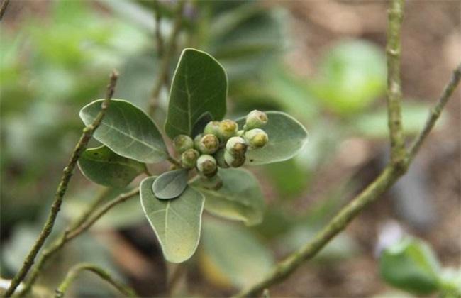 蔓荆子 种植效益 分析