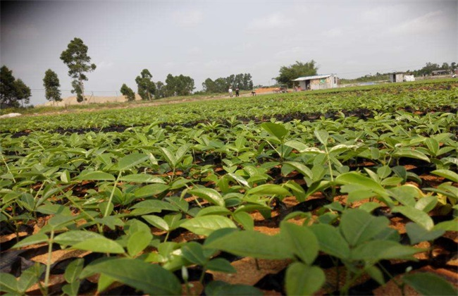 土茯苓 种植效益 分析