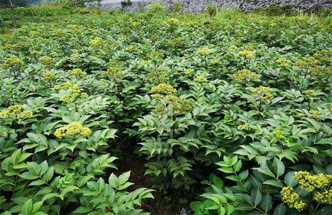 吴茱萸种植效益分析