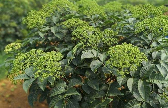 吴茱萸 种植效益 分析