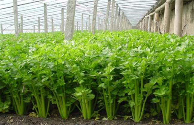 芹菜叶子发黄是什么原因