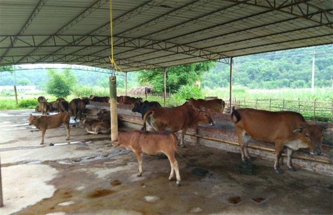 新手 养牛 注意事项