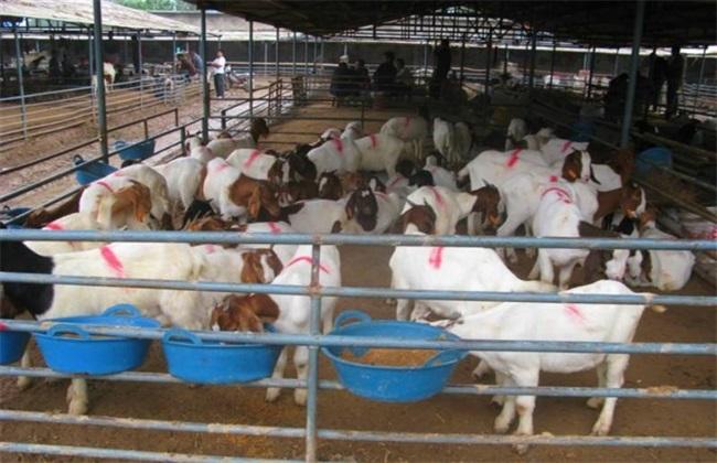 羊 接种疫苗 注意事项