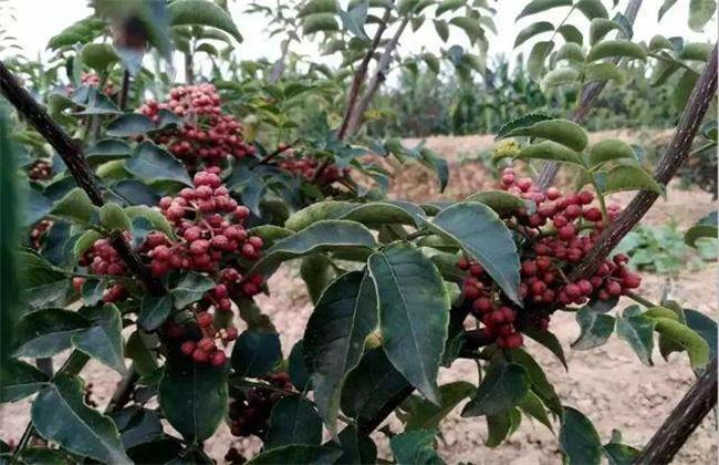 花椒种植效益