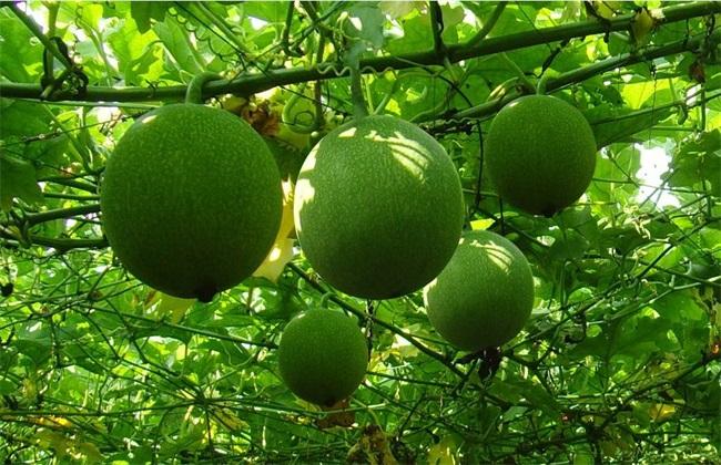 瓜蒌种植效益分析