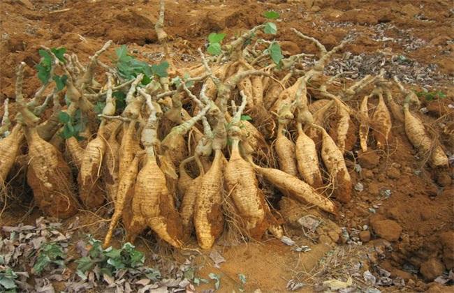 葛根 种植效益 分析