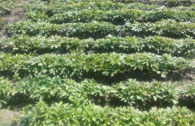 赤芍 种植 效益