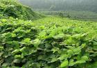 葛根种植效益分析