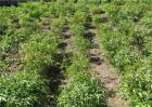 赤芍种植效益