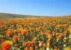 红花种植效益分析