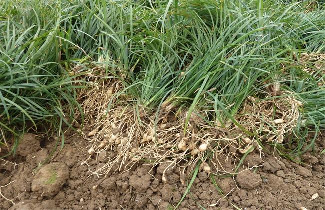 麦冬种植效益
