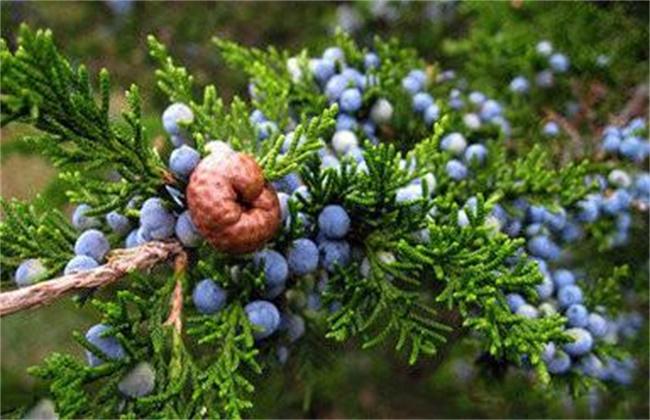 蓝莓僵果防治方法