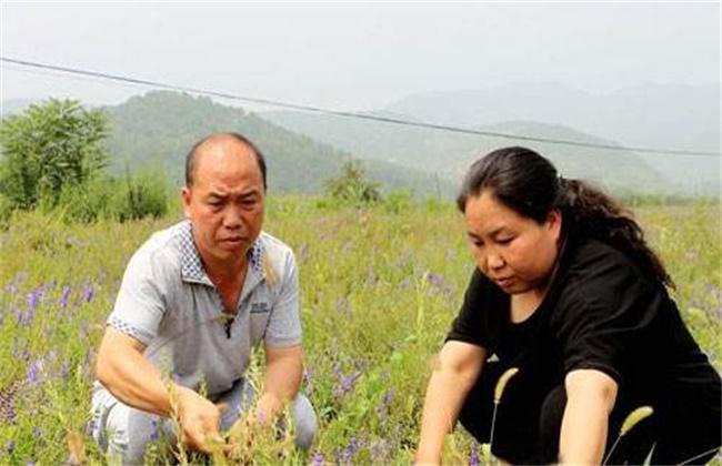 黄芩种植效益