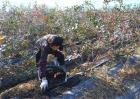 蓝莓施肥技术