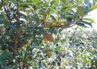 油茶种植效益分析