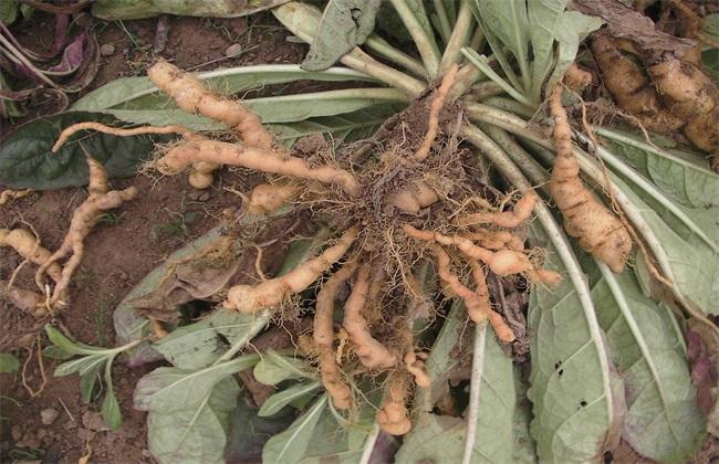 地黄种植效益分析