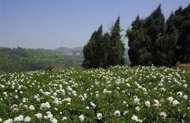 白芍 种植效益 分析