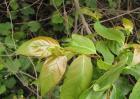 钩藤种植效益