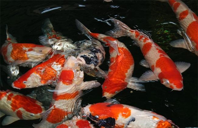 金鱼养殖的注意事项