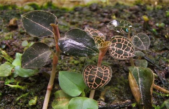 金线莲 种植效益 分析
