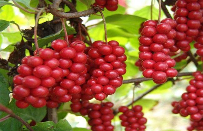 五味子种植效益分析