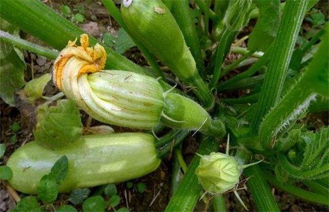 西葫芦烂瓜原因及防治方法