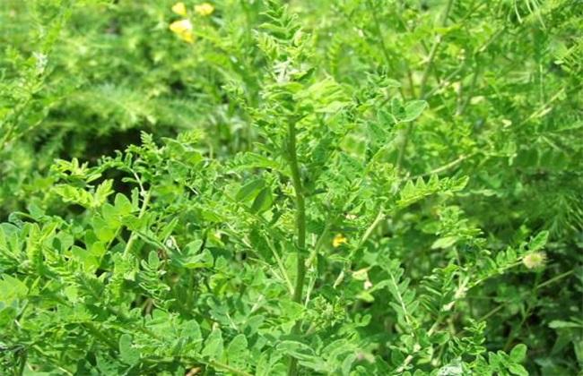 黄芪 种植效益 分析