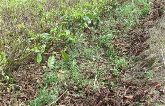 龙胆草种植效益分析