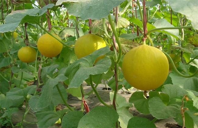 甜瓜种植效益分析