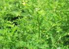 黄芪种植效益分析