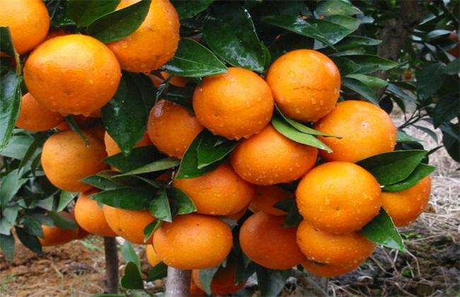 柑橘 种植 效益