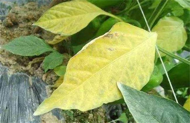 大豆黄叶、死苗原因及防治方法