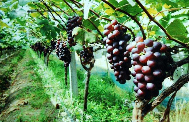 葡萄种植效益分析