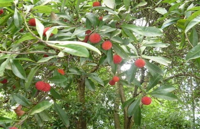 杨梅种植效益