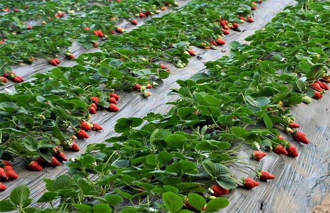 草莓 种植 效益