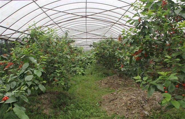 樱桃种植效益分析