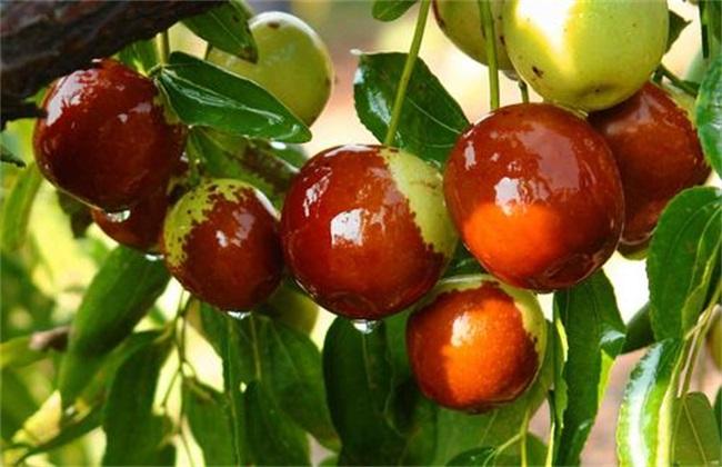 冬枣 种植效益 分析