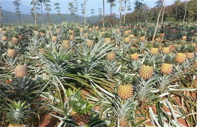 菠萝种植效益