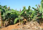香蕉种植效益
