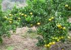 柑橘种植效益