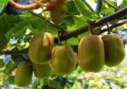 猕猴桃种植效益分析