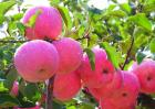 苹果种植效益分析