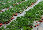 草莓种植效益