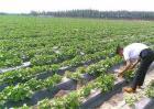 西瓜种植效益