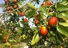 冬枣种植效益分析