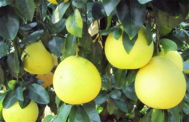 柚子种植效益