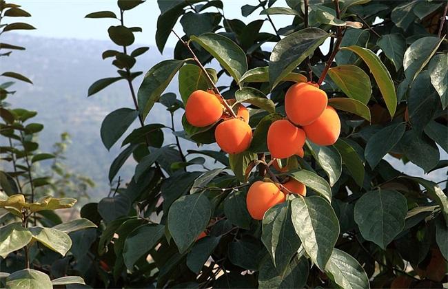 柿子 种植效益 分析