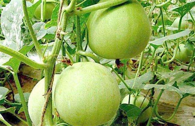 香瓜种植效益