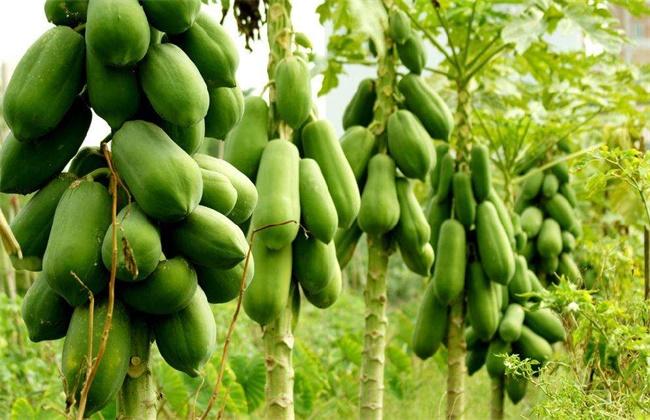 木瓜种植效益