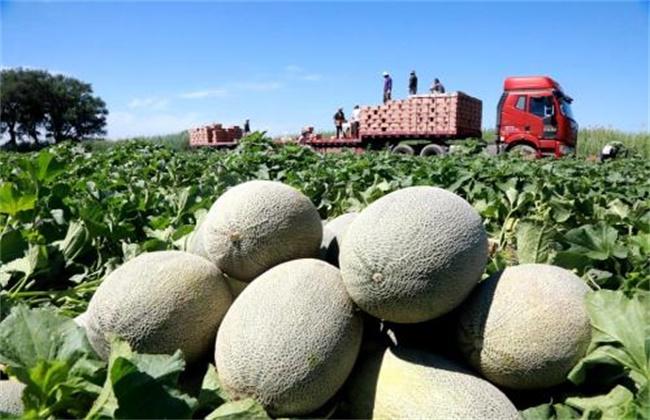 哈密瓜种植效益